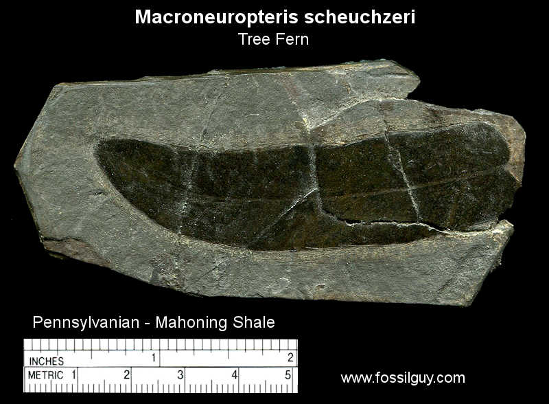 Fossil Macroneuropteris from near Pittsburgh.