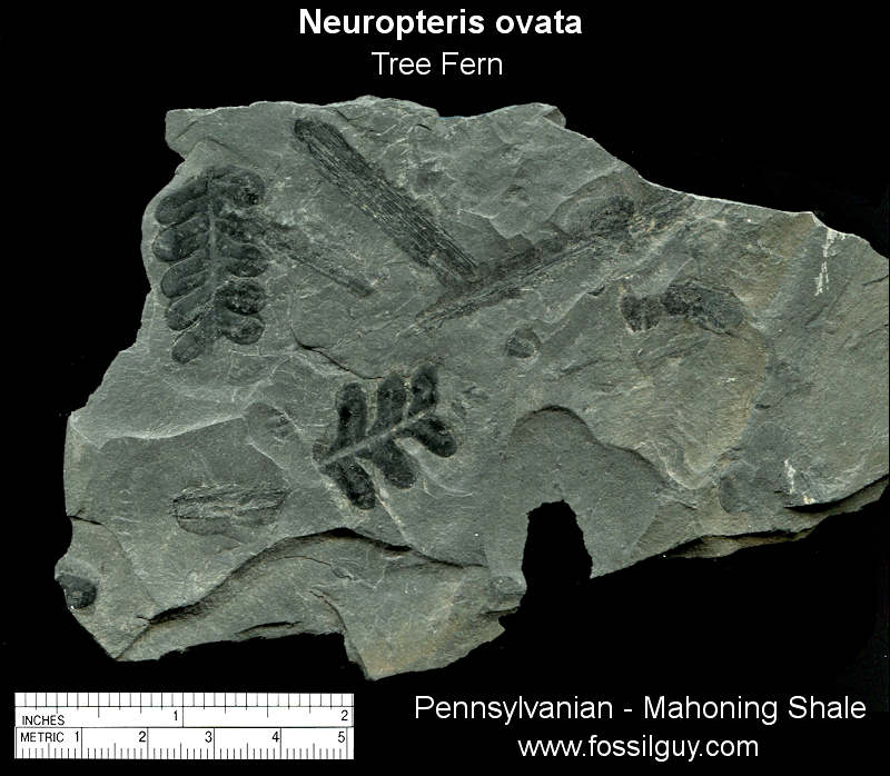 Fossil neuropteris ovata from near Pittsburgh.