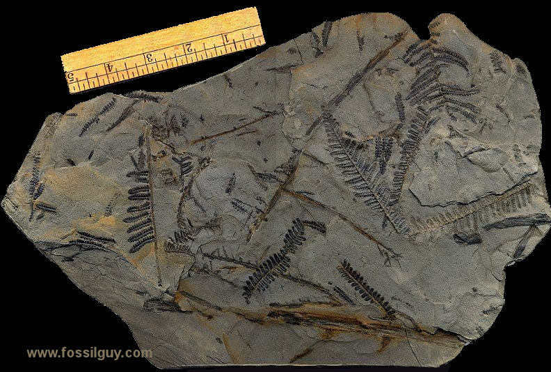 Fossil pecopteris frond pieces from near Pittsburgh.