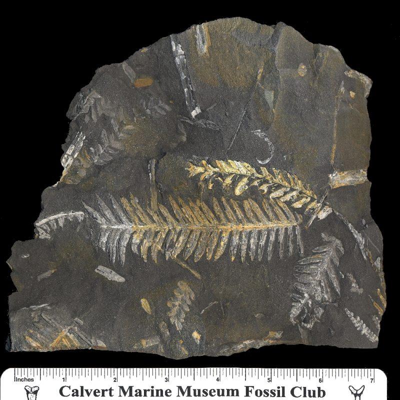 fossil fern: alethopteris