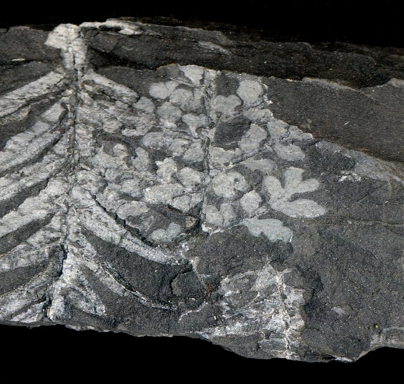 This specimen might be a sphenopteris plant fossil fragment