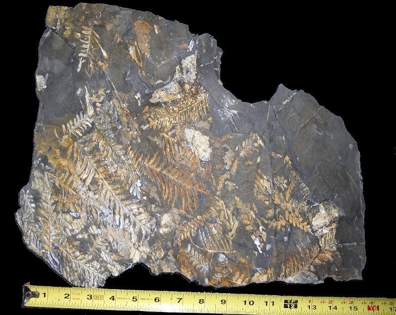 St. Clair Fossil Fern Plate with orange alethopteris plant fossils and a few neuropteris