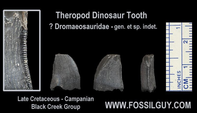 Another Theropod Dinosaur Tooth, possilby Dromaeosaurid