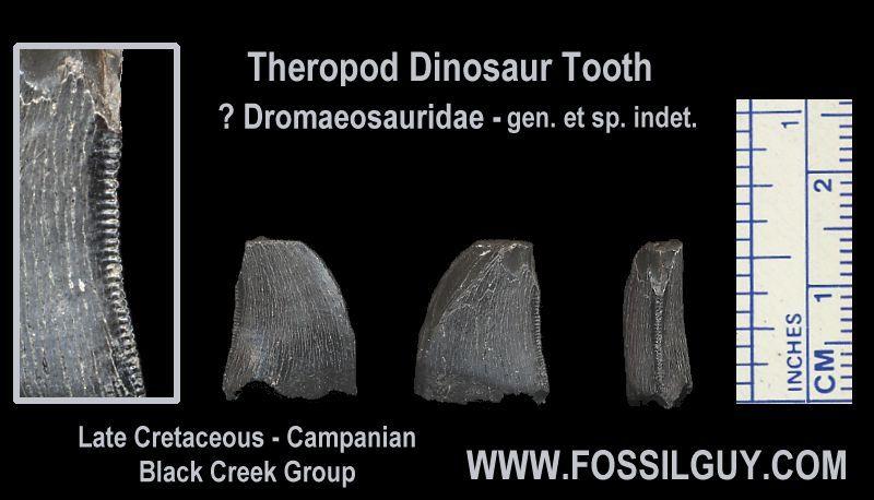 A smaller Theropod Dinosaur tooth fossil, possibly a Dromaeosaurid dinosaur.