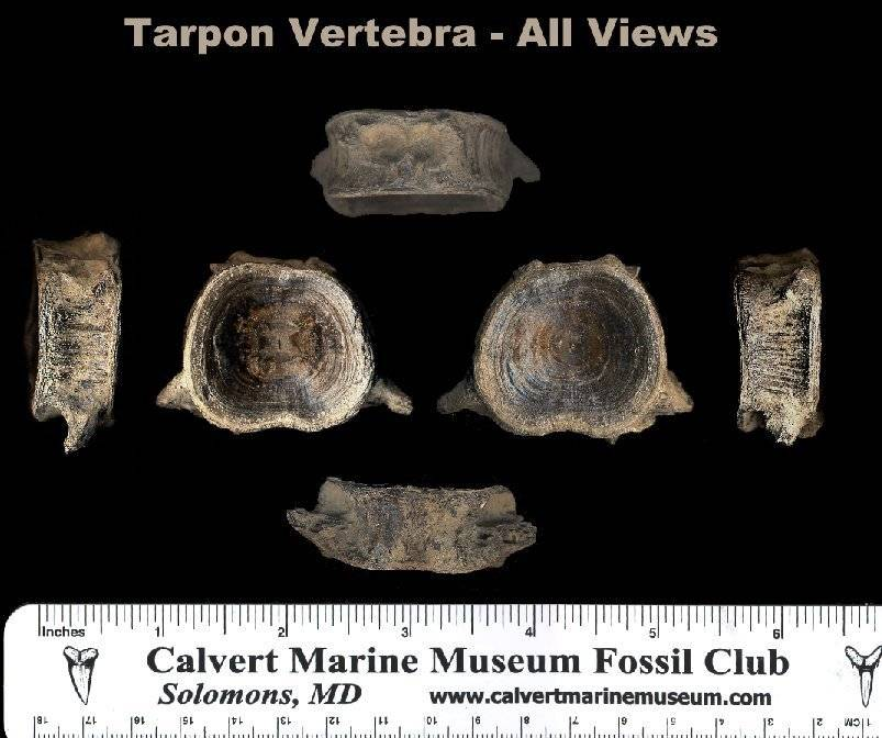 views of a fossil tarpon vertebra