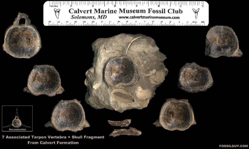 Click to view the fossils as found