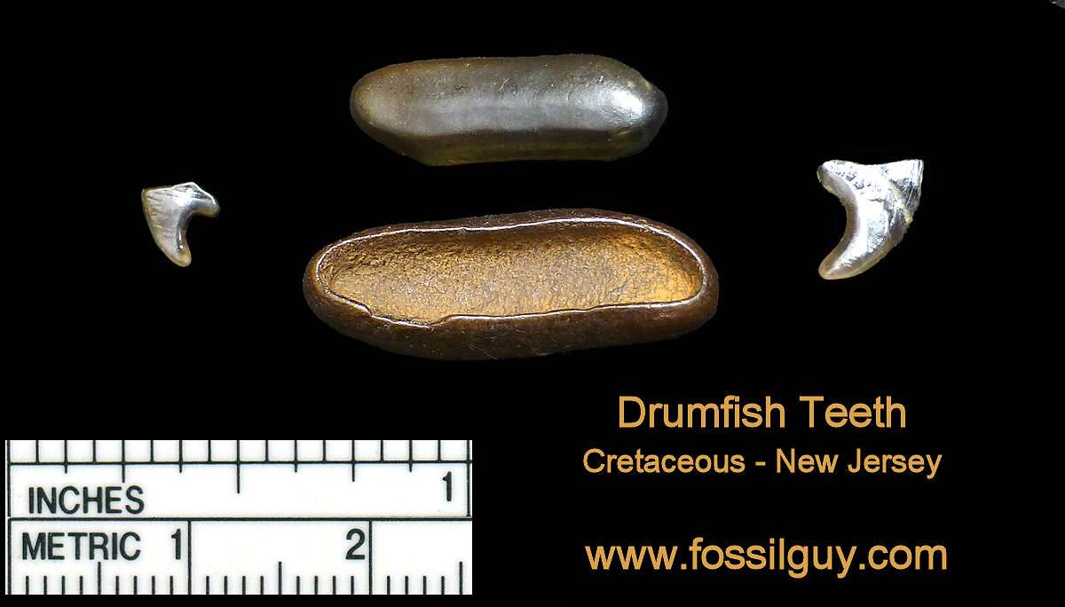 Drumfish Fossil teeth at Big Brook