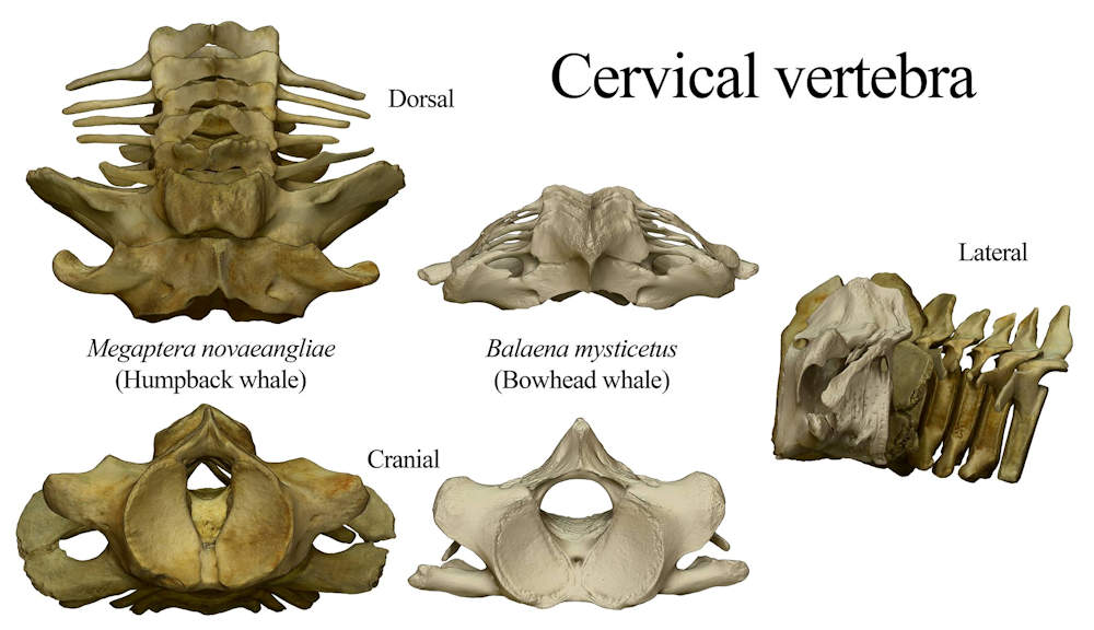 Cetacea cervical vertebrae imaged from the