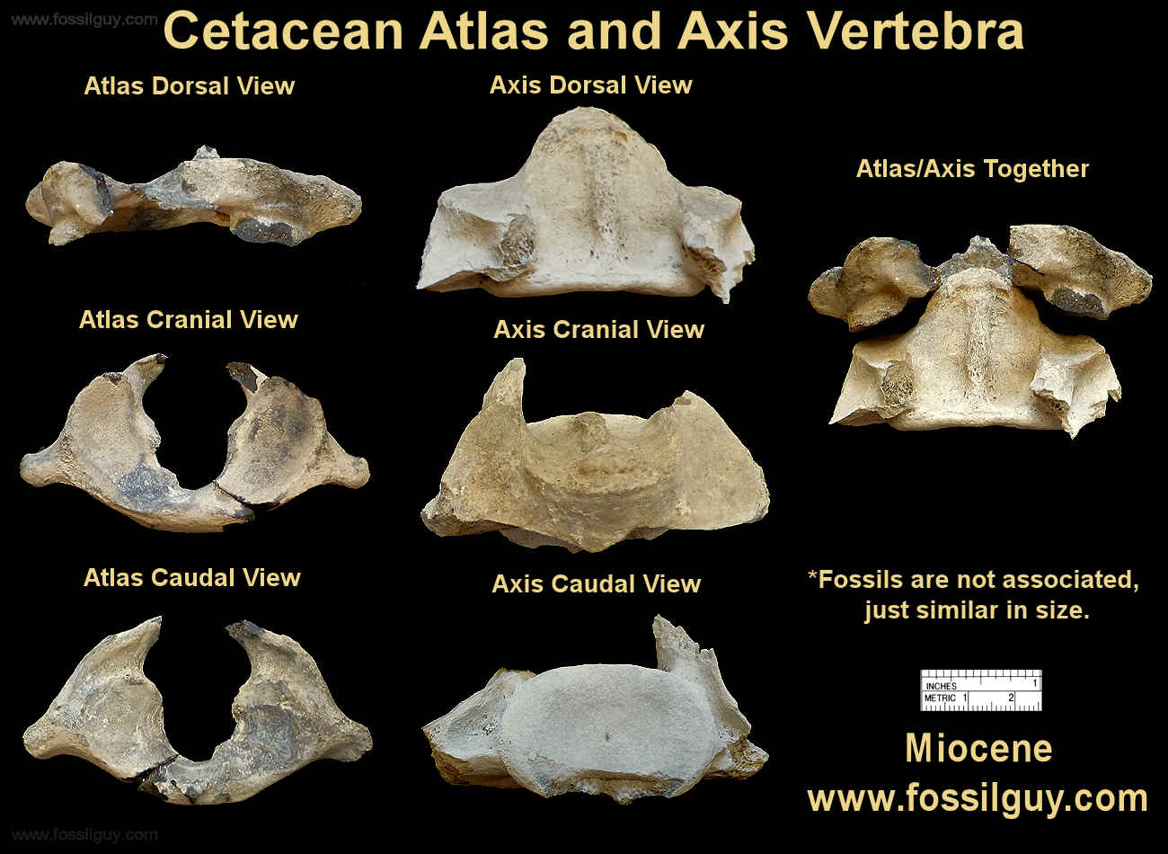 An Atlas and Axis Fossil Cetacean Vertebra
