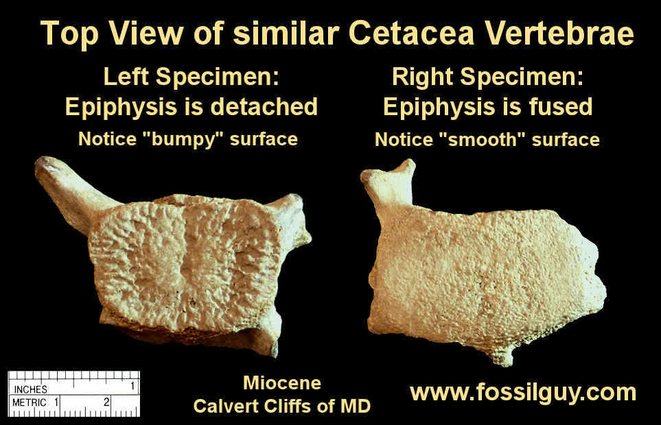 Comparison of a fused vs unfused cetacean vertebra