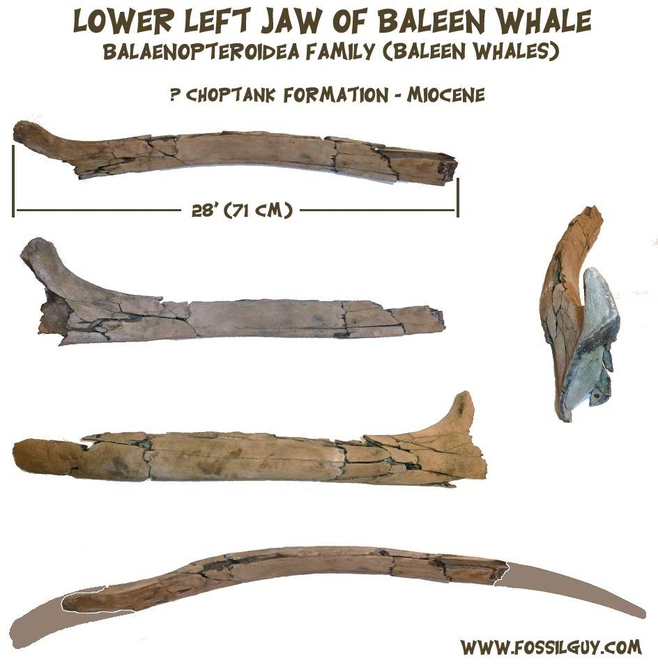 Fossil Baleen Whale Jaw / mandible from the Calvert Cliffs - Miocene