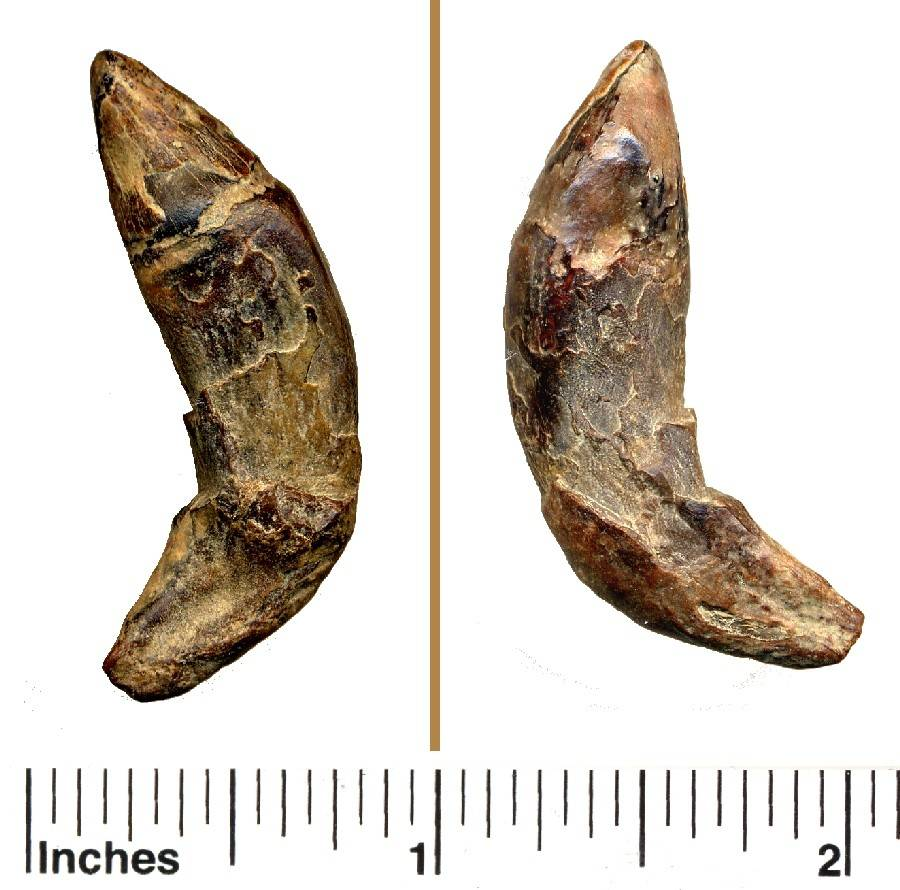 fossil porpoise tooth