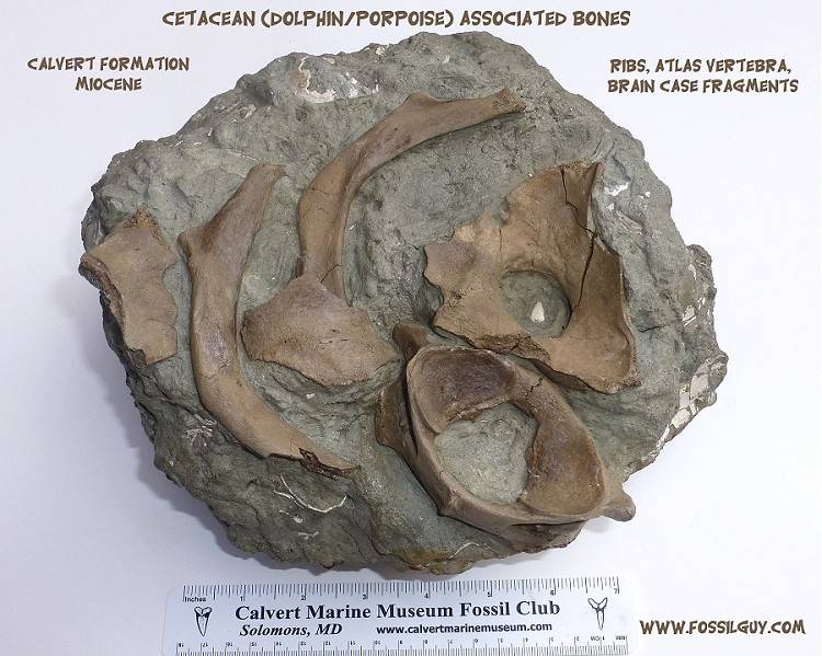 An associated cluster of fossil dolphin bones