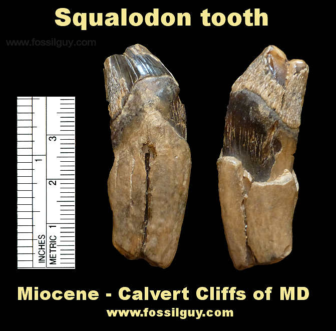 Fossil Squalodon Tooth