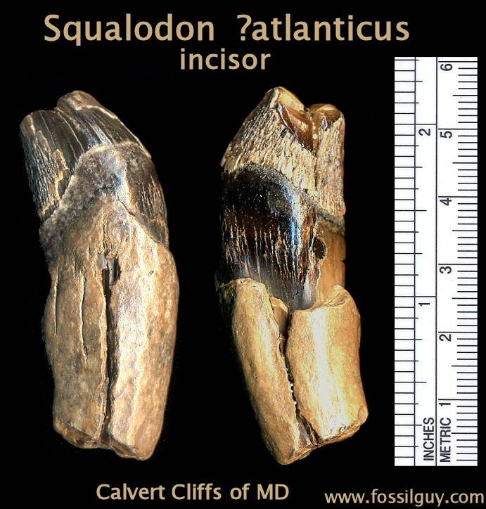 squalodon fossil tooth
