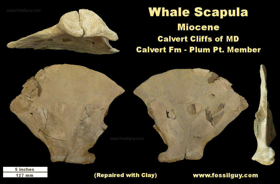 Whale Scapula Fossil - Repaired with clay