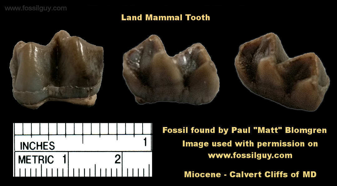 Fossil tooth from an early Llama or Camel from the Calvert Cliffs of Maryland
