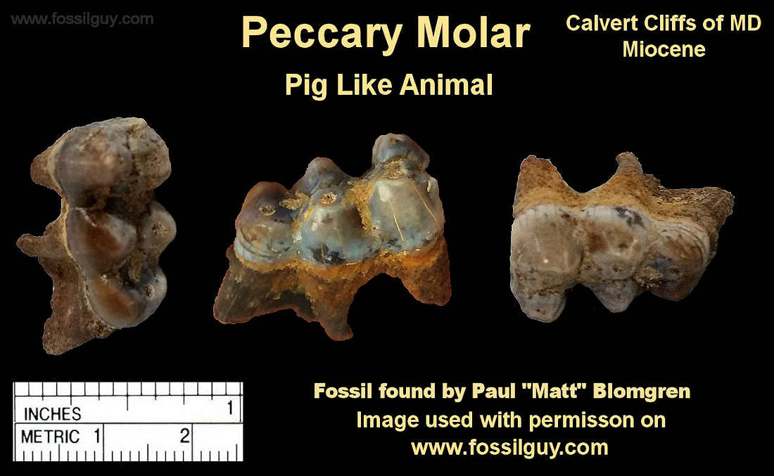 Peccary molar fossil from the Calvert Cliffs of Maryland