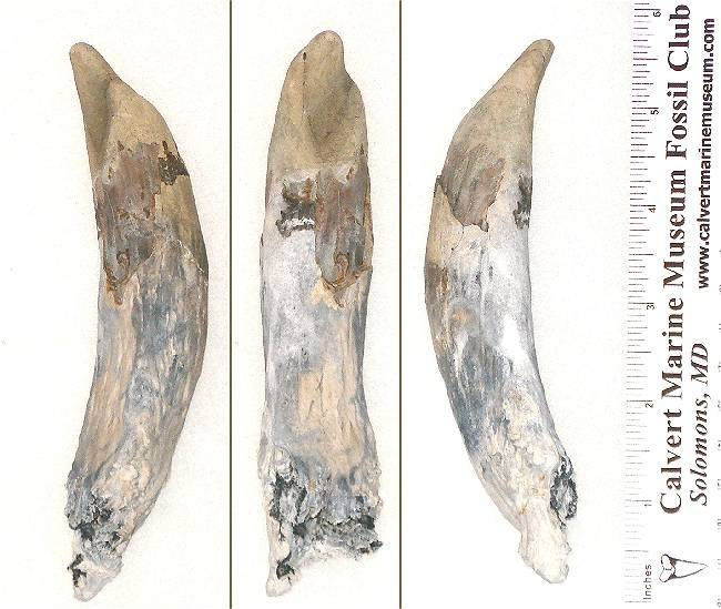 Here is a much larger Sperm Whale tooth. Notice the shape variation from the ones above and below.