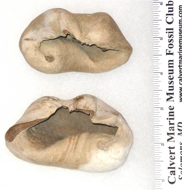 Fossil Whale Bulla - Ear Bone