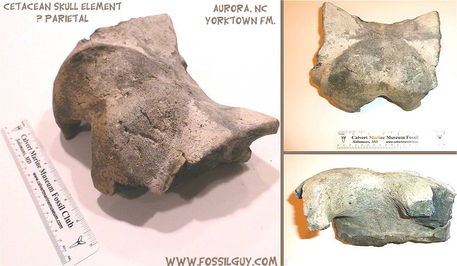 Fossil Whale Parietal, or the top of the skull.
