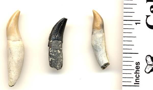 Fossil Dolphin Teeth