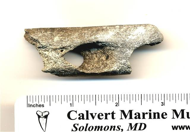 squalodon jaw fragment