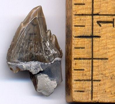 squalodon tooth