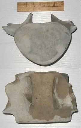 Cetacea thoracic vertebrae fossils from North Carolina