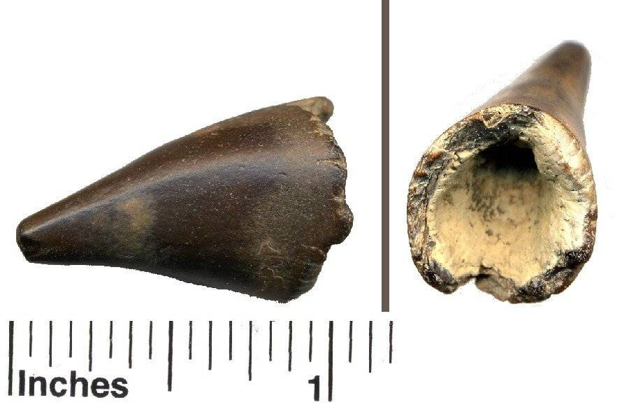 fossil miocene crocodile tooth