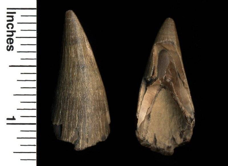 This is the other fossil crocodile tooth, it's a little less worn, but the other side is damaged.