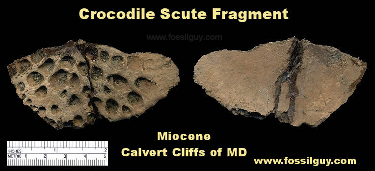 Fossil Crocodile Scute from the Calvert Cliffs