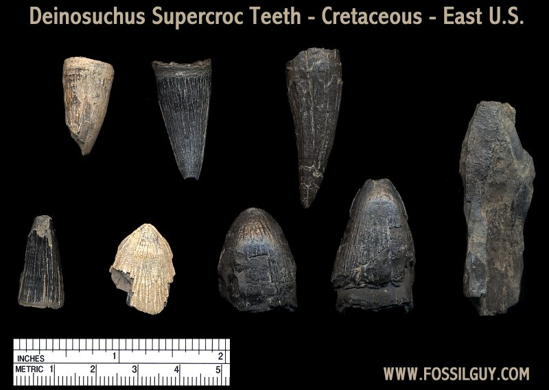 Some of the Deinosuchus Supercroc teeth found