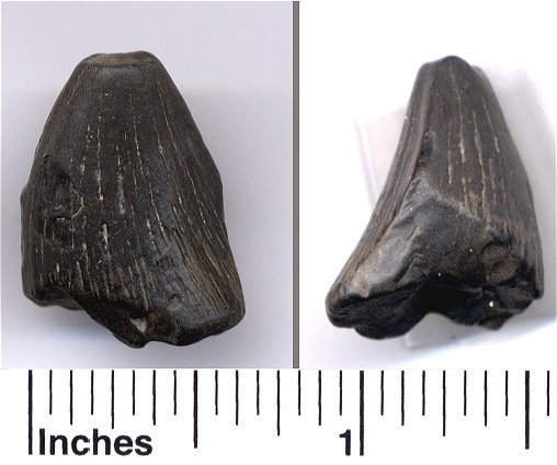 fossil mosasaur tooth