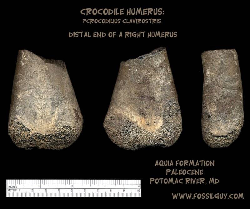 crocodile humerus fragment of from the Potomac River, Maryland - Paleocene - Aquia Formation