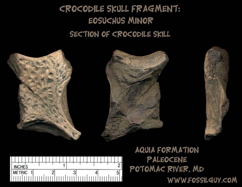 crocodile fossil skull fragment of eosuchus minor from the Potomac River, Maryland - Paleocene - Aquia Formation