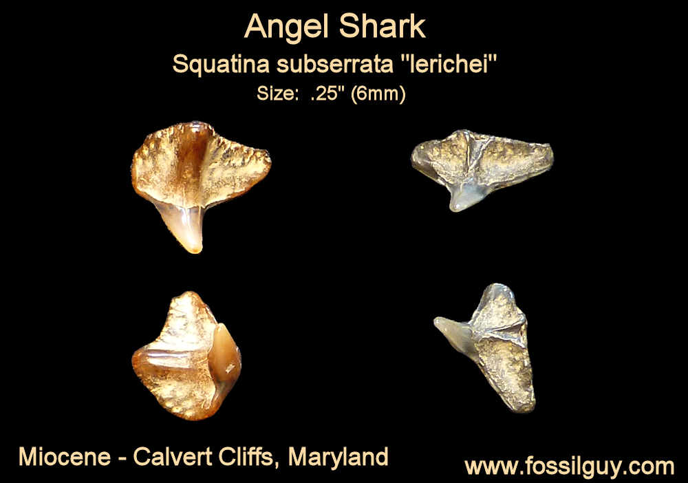 fossil angel shark tooth - calvert cliffs, maryland