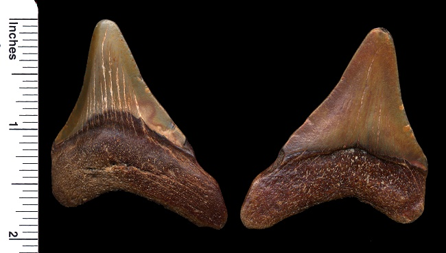 fossil megalodon shark tooth