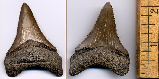 large megalodon shark tooth from South Carolina