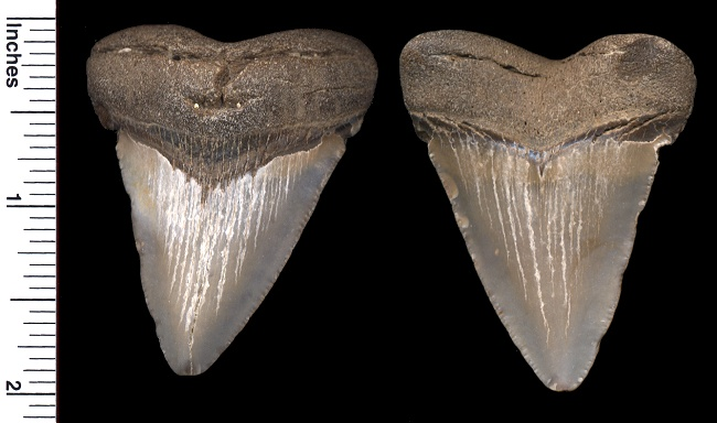 Here is another small 2 5/16 inch slant height megalodon shark tooth.  It's also very worn without serrations.