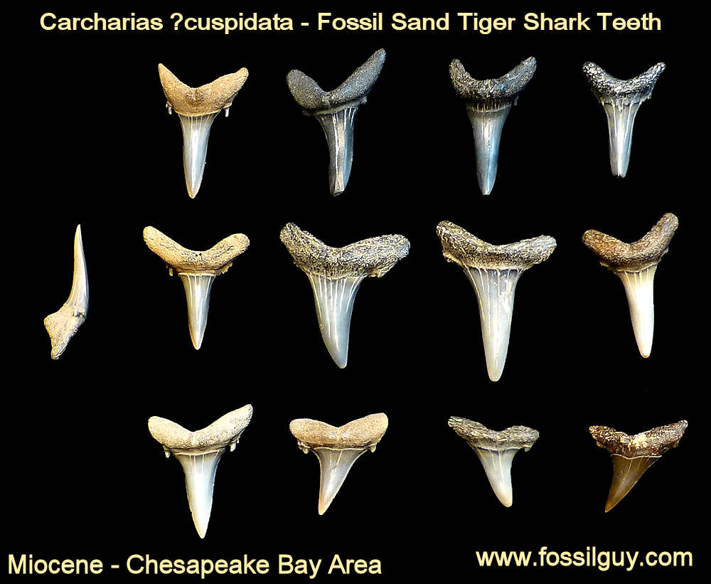 fossil sand tiger shark teeth - calvert cliffs, maryland