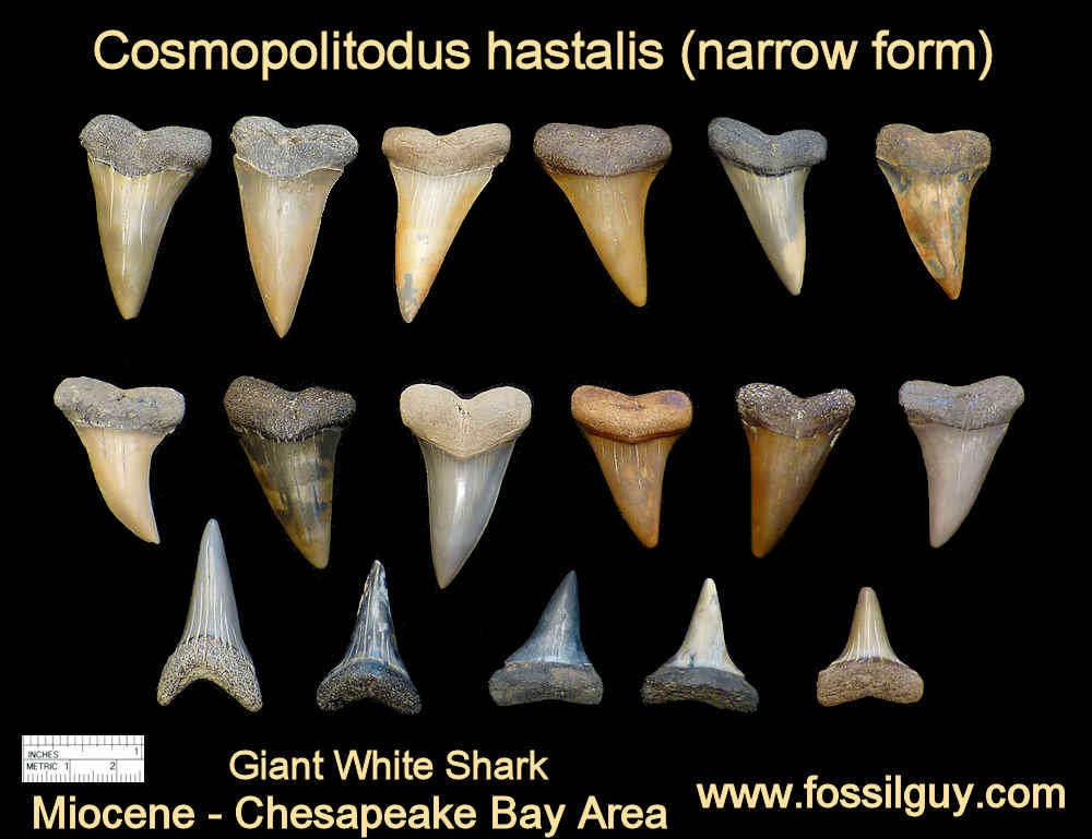 fossil giant white shark teeth - cosmopolitodus hastalis shark teeth - calvert cliffs, maryland