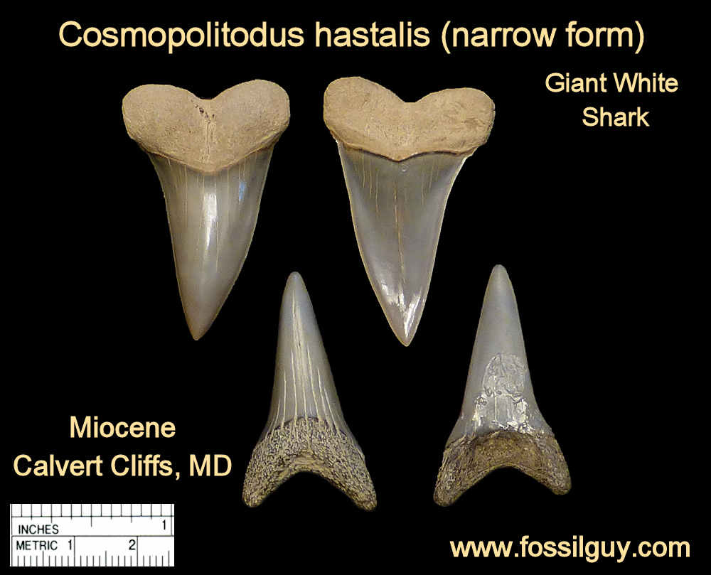 fossil giant white shark teeth - cosmopolitodus hastalis - calvert cliffs, maryland