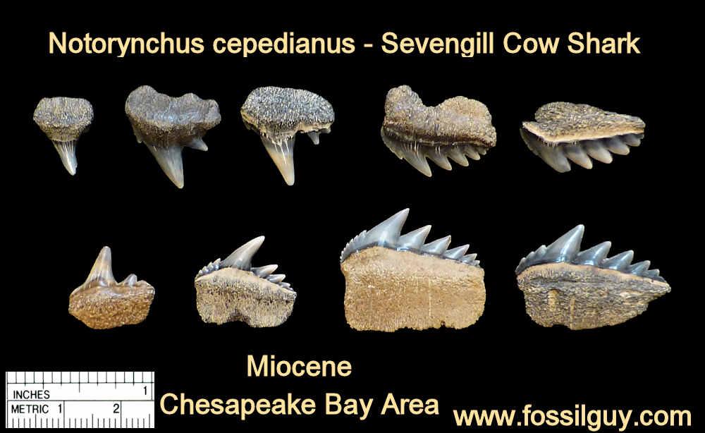 Bluntnose sevengill cow shark tooth