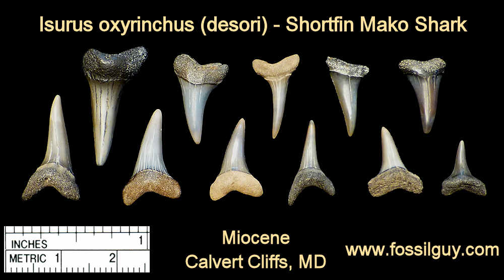 fossil mako shark teeth - isurus oxyrinchus - calvert cliffs, maryland