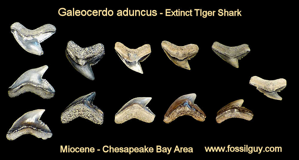 fossil galeocerdo aduncus tiger shark teeth - calvert cliffs, maryland