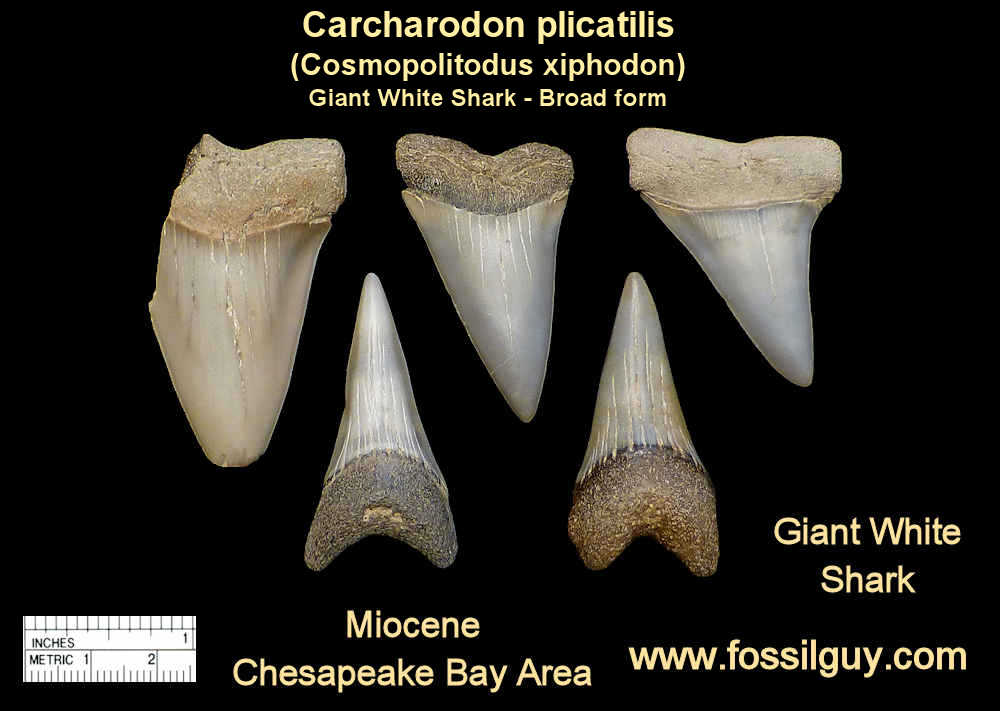 fossil giant white shark teeth - cosmopolitodus hastalis broad form (xiphodon) shark teeth - calvert cliffs, maryland