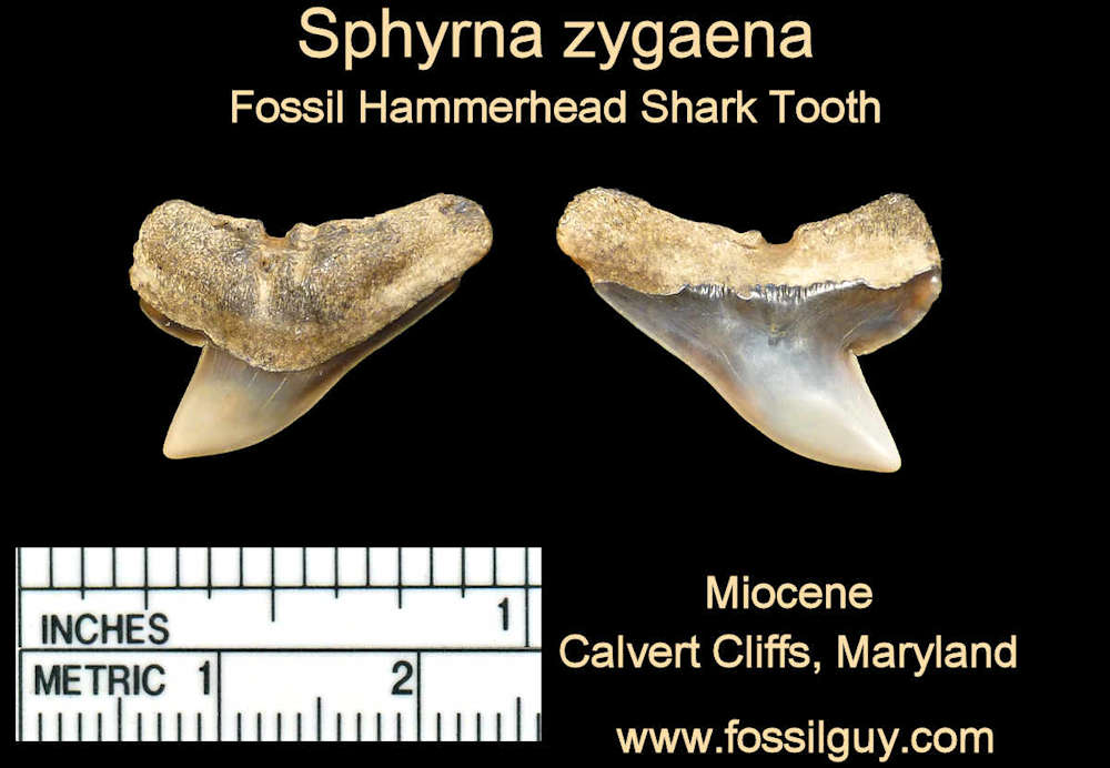 fossil hammerhead shark tooth - calvert cliffs, maryland