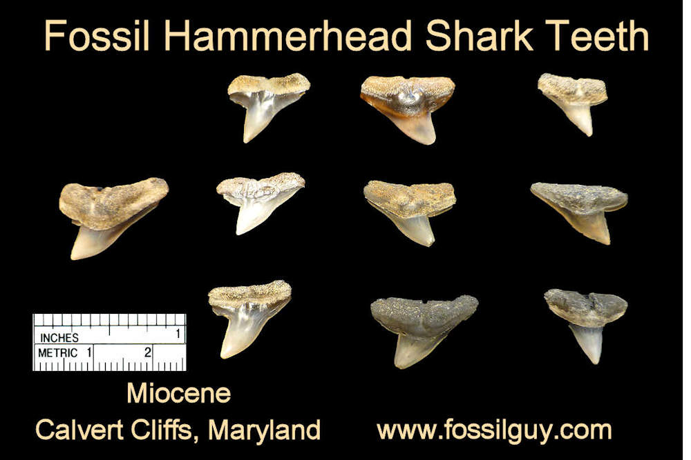fossil hammerhead shark teeth - calvert cliffs, maryland