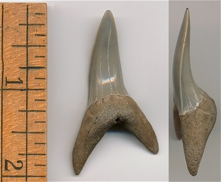 Shortfin Mako Shark Tooth - Isurus oxyrinchus - Calvert Cliffs of Maryland